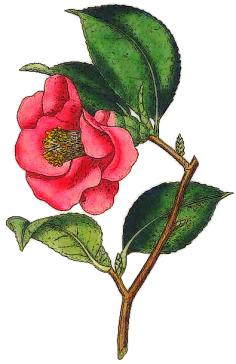 12-Camellia_Japonica