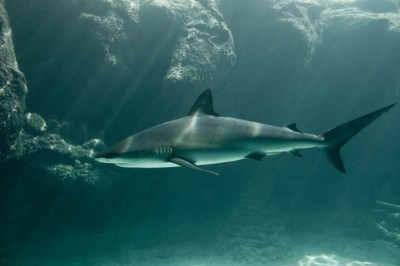 Diving with Sharks - Bahamas