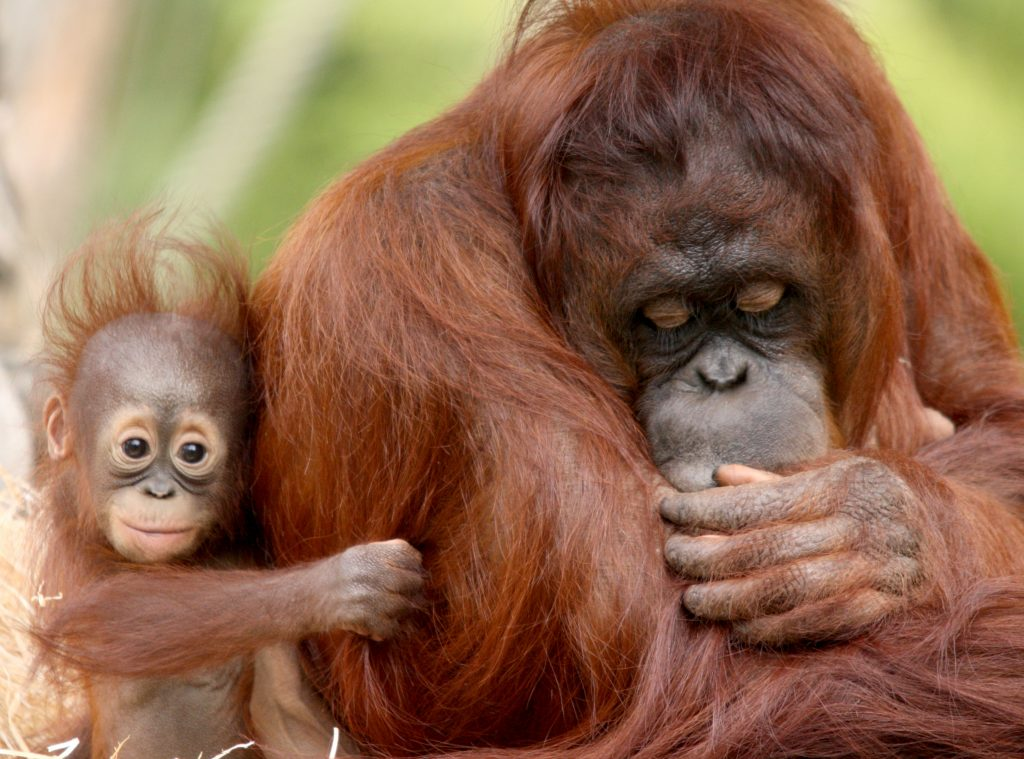 Pucker up! Adorable moment baby orangutan responds to mum's request for a  kiss