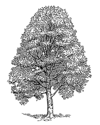 Beech tree illustration