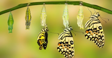 Chrysalises and butterflies