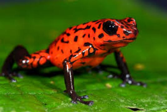 worlds-most-dangerous-animals-dart-frog