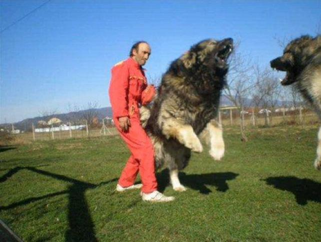 worlds-most-dangerous-dogs-caucation-shepherd