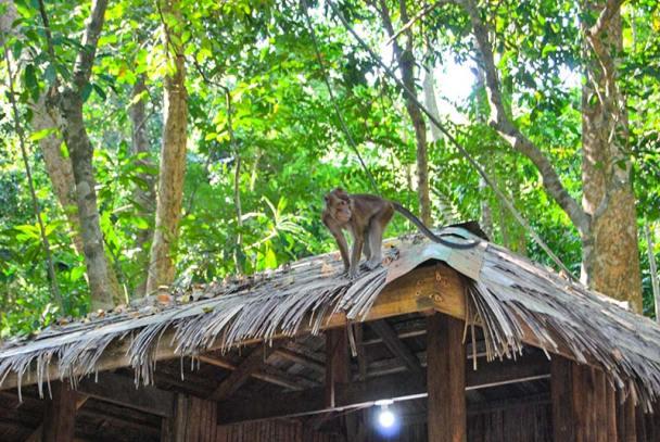 Opica javanski makak