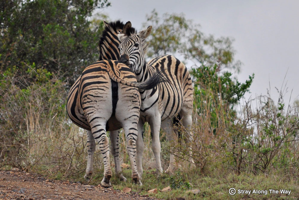Some zebra loving in Ithala Game Reserve