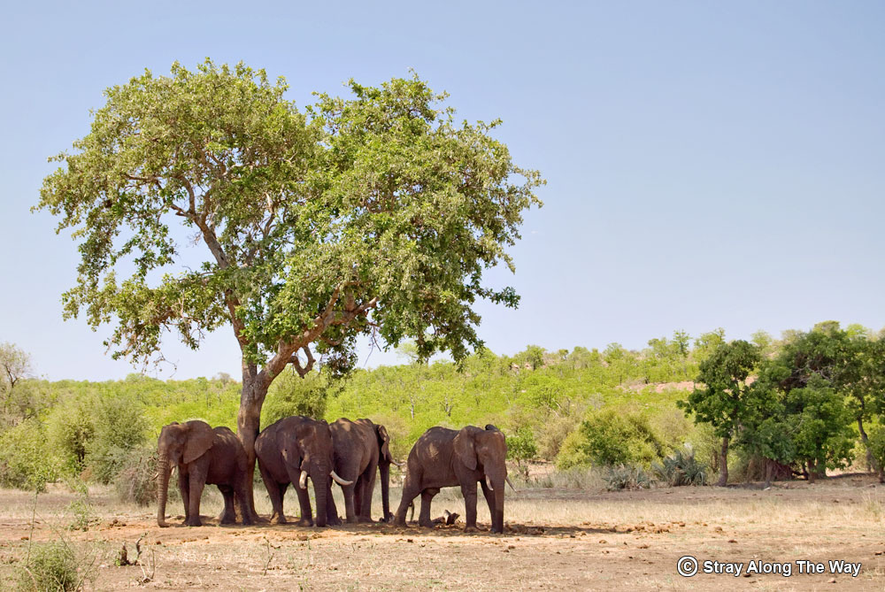 A herd of elephant taking shelter from the heat.
