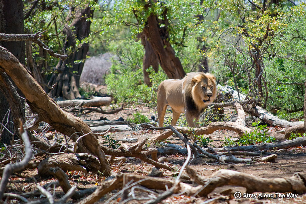 A magnificent lion prowls through the forest next to the Shingwedzi River.