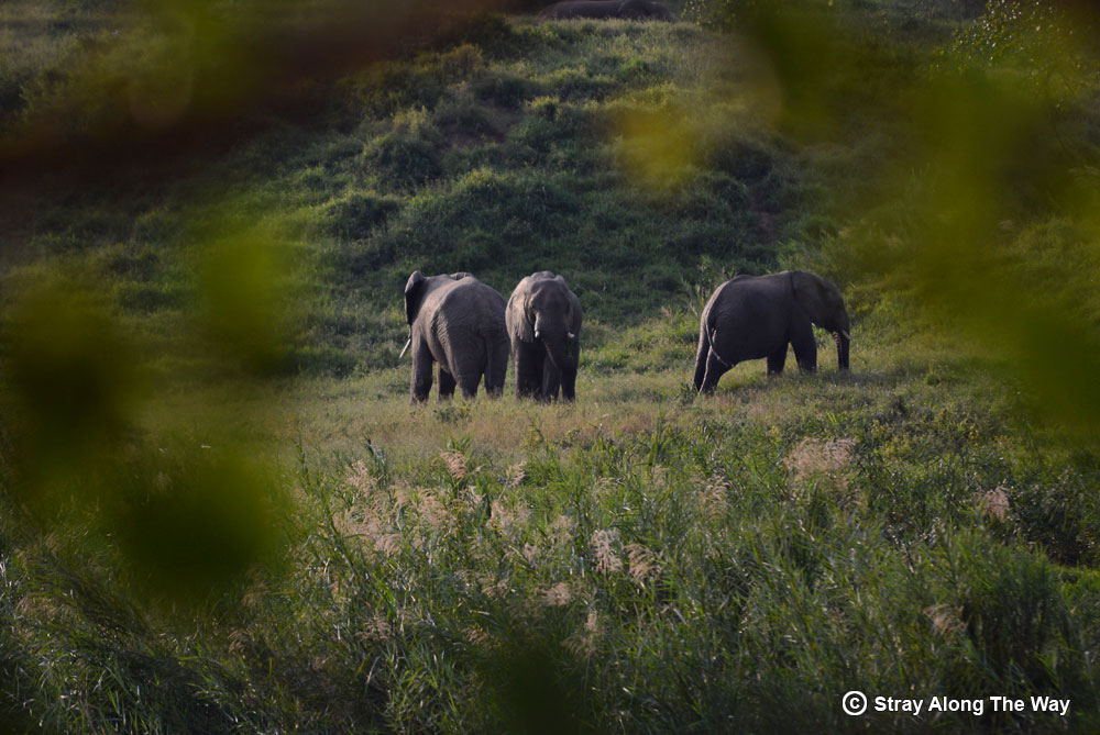 elephants in the evening light