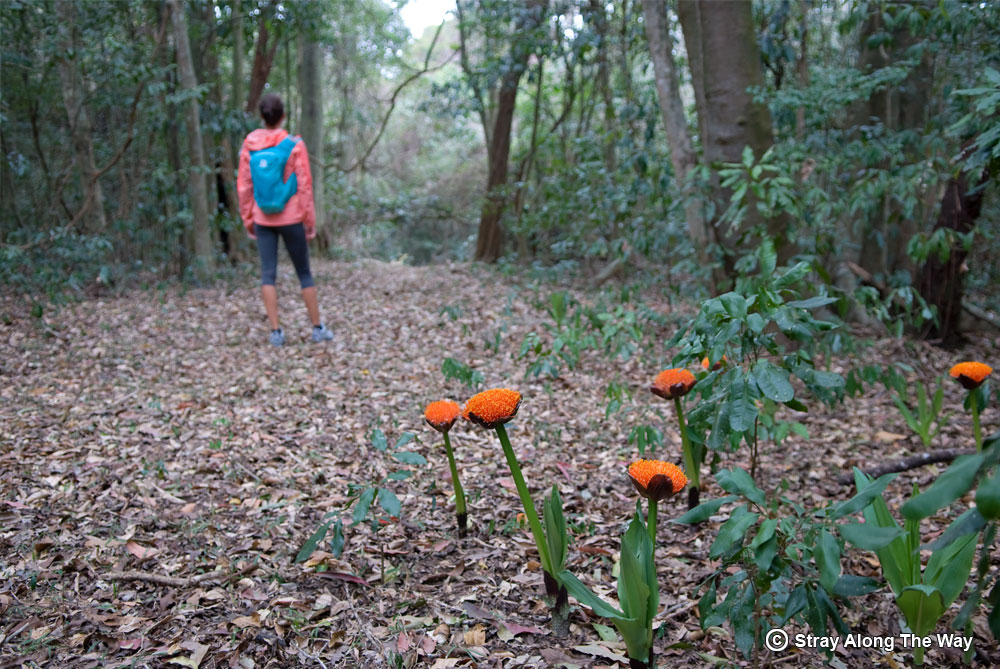 Snake Lilies deep in the Entumeni Nature Reserve.