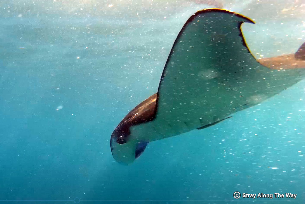 Swimming with manta rays up close
