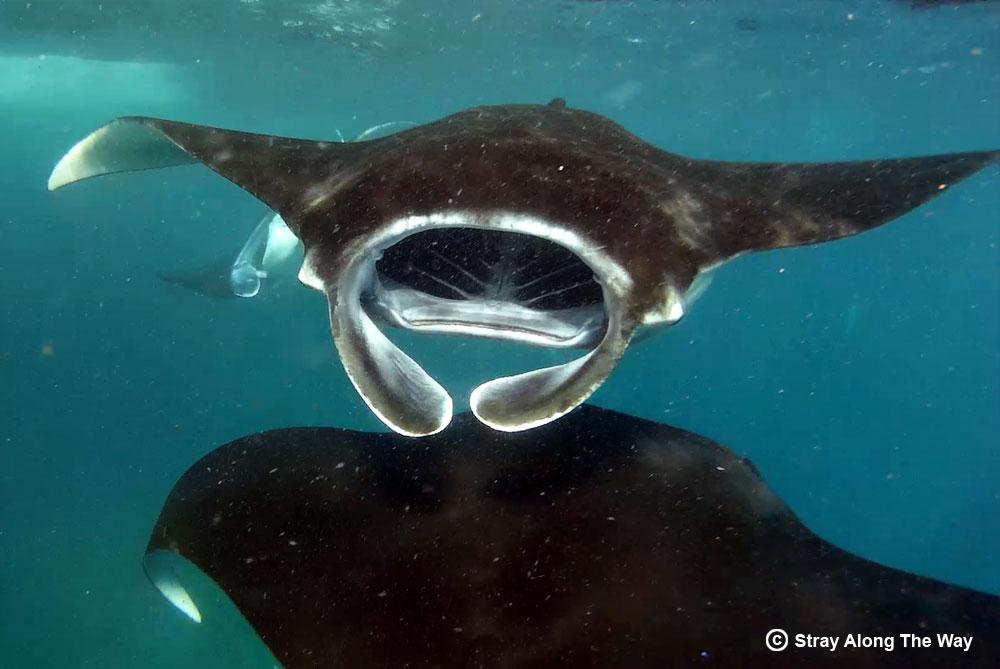 Manta rays gracefully cruising through the water.
