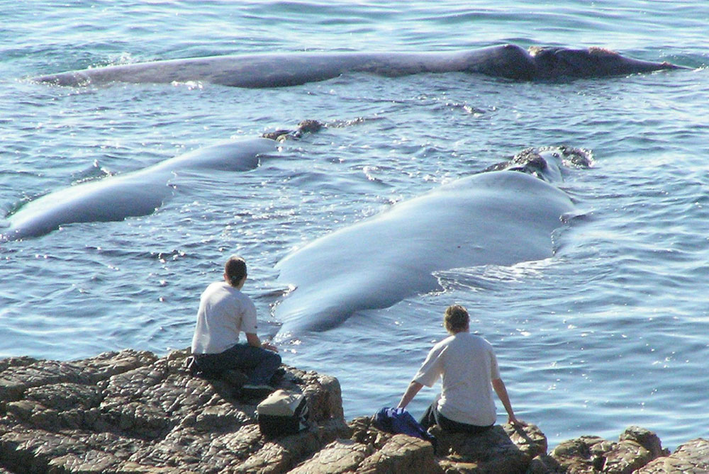 wildlife-experience-Hermanus-whales-misty-waves-boutique-hotel