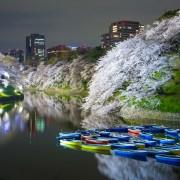 photo of Cherry Blossom at Chidorigafuchi