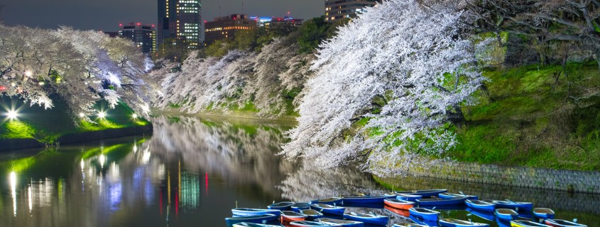 photo of Cherry Blossom at Chidorigafuchi