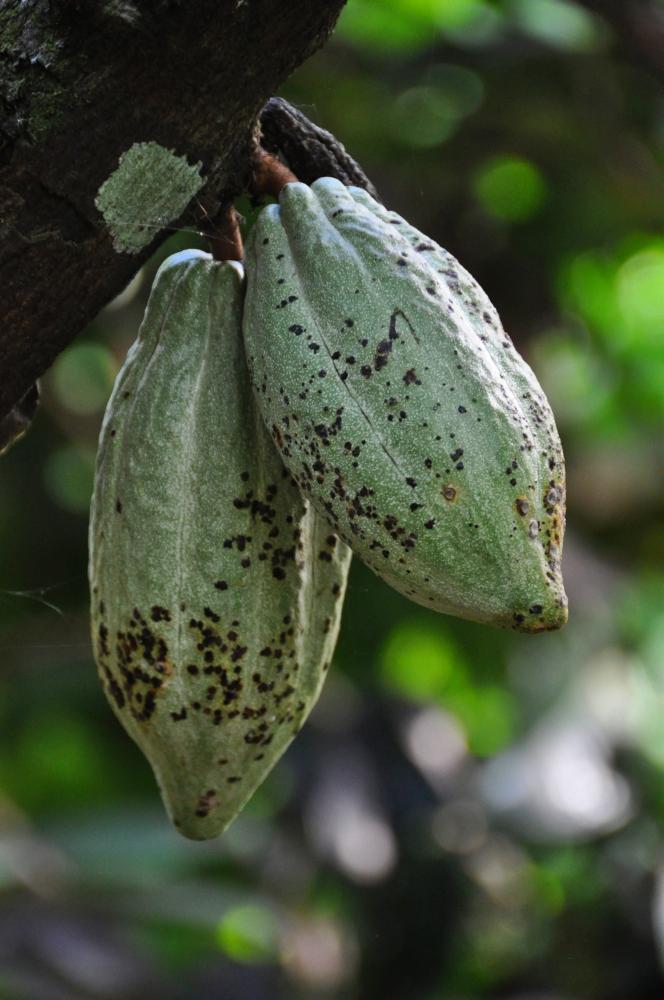 Kakaové bôby