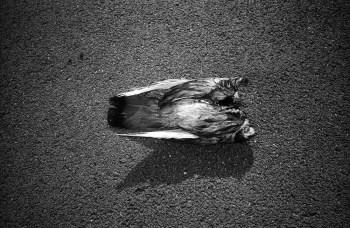 (C) Boogie - No Head Pigeon