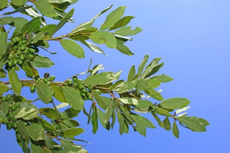 California bay leaves on the tree