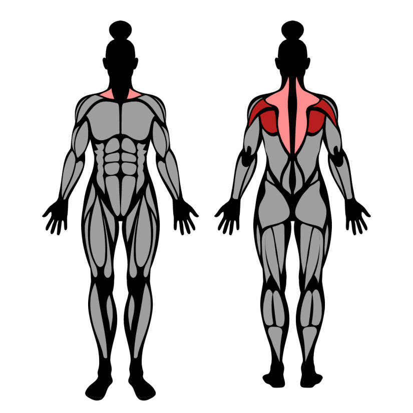 Muscles worked by band pull-aparts