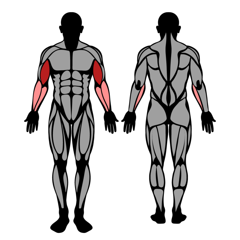 Muscles worked by cable curl