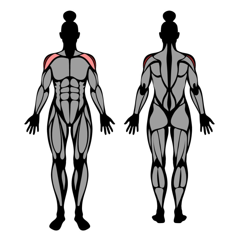 Muscles worked by dumbbell lateral raise