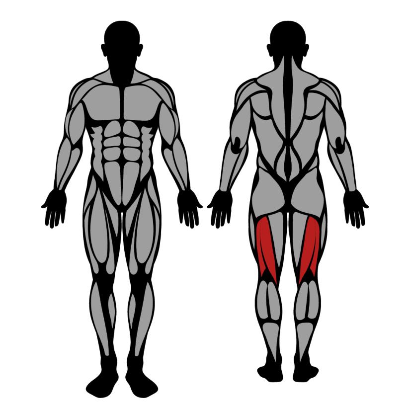 Muscles worked in lying leg curls