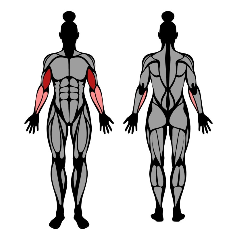 Muscles worked by preacher curl