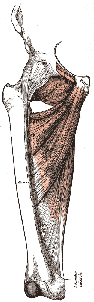 Leg adductor muscles