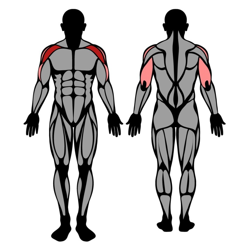 Muscles worked in seated barbell overhead press