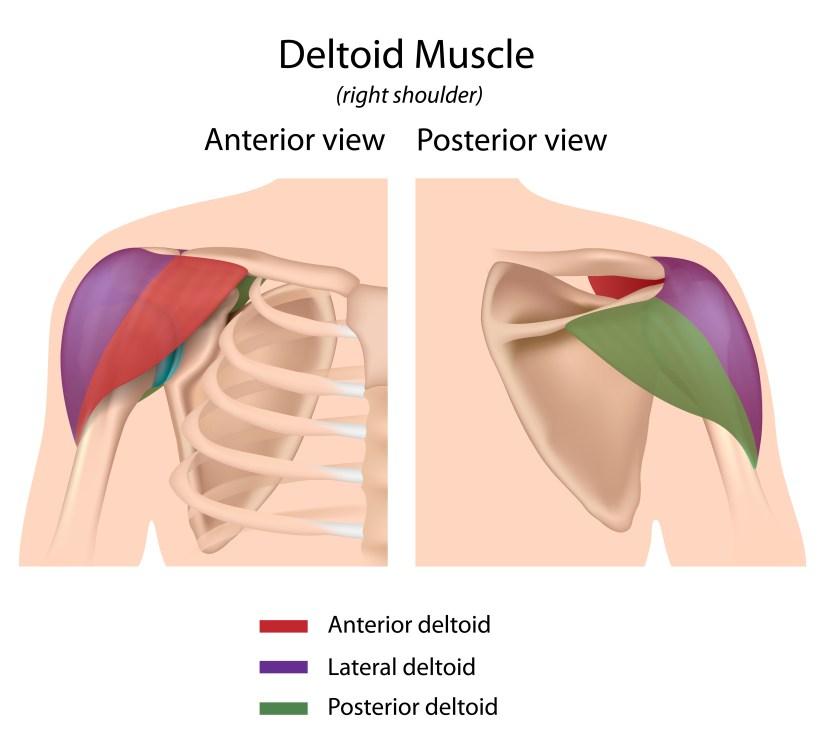 Shoulder muscle anatomy deltoids