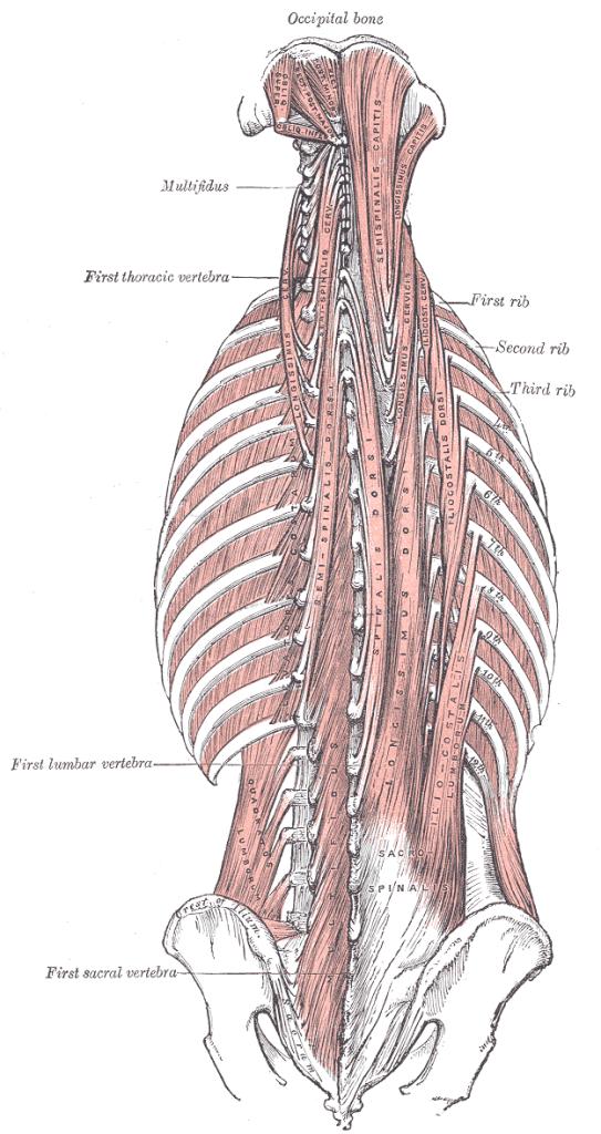 Deep back muscle anatomy