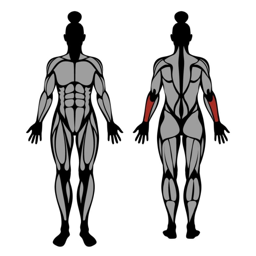 Muscles worked by barbell wrist extension