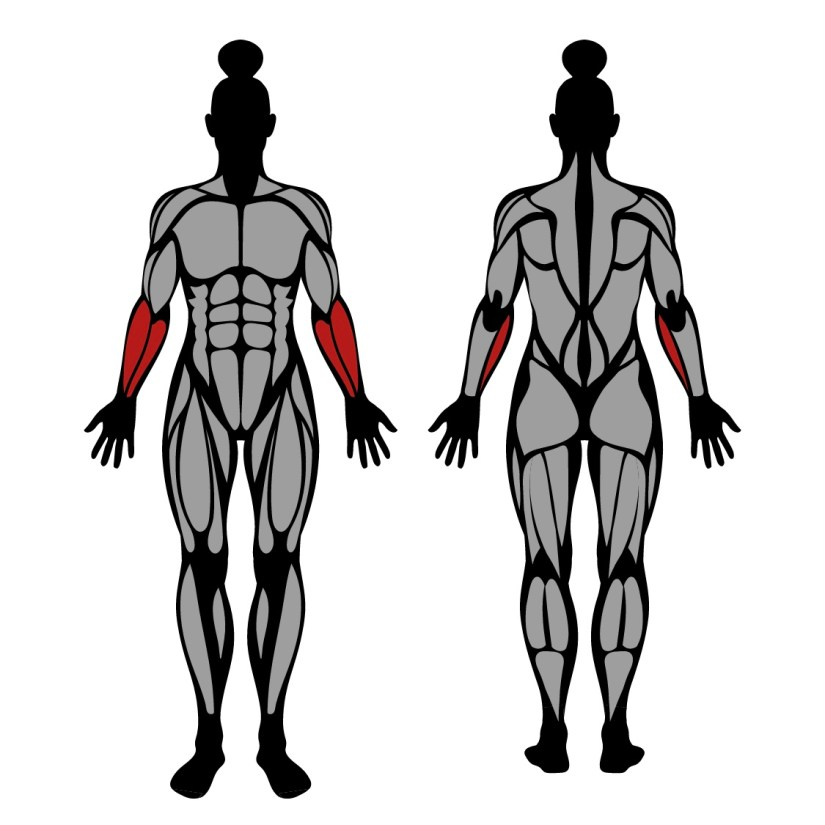 Muscles worked in plate wrist curl