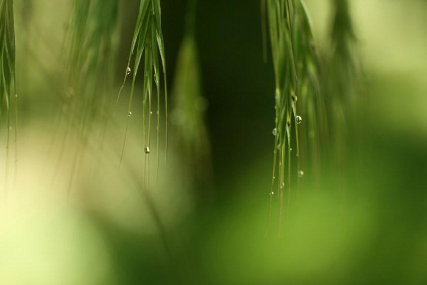 Gräser nach Sommerregen