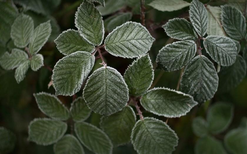 Brombeerblätter mit Raureif, frozen leaves