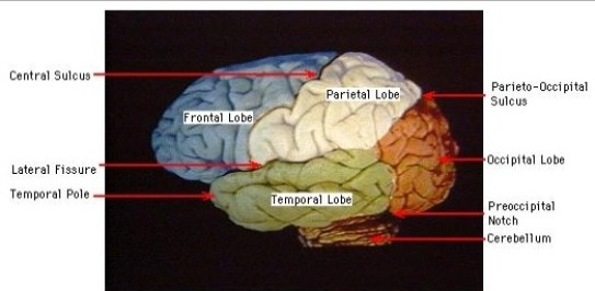brain lobes (Image source: University of Utah); link: https://library.med.utah.edu/kw/hyperbrain/figures/2a.htm