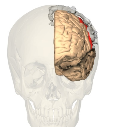 "Figure 3: front view <a href=""https://commons.wikimedia.org/wiki/Category:Cortical_homunculus#/media/File:BA312_-_Primary_Somatosensory_Cortex_-_anterior_view_-_with_homunculus.png"">(courtesy: Wikimedia Commons)</a>"