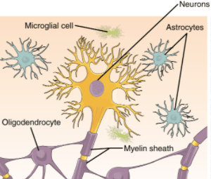 glial cells with a neuron