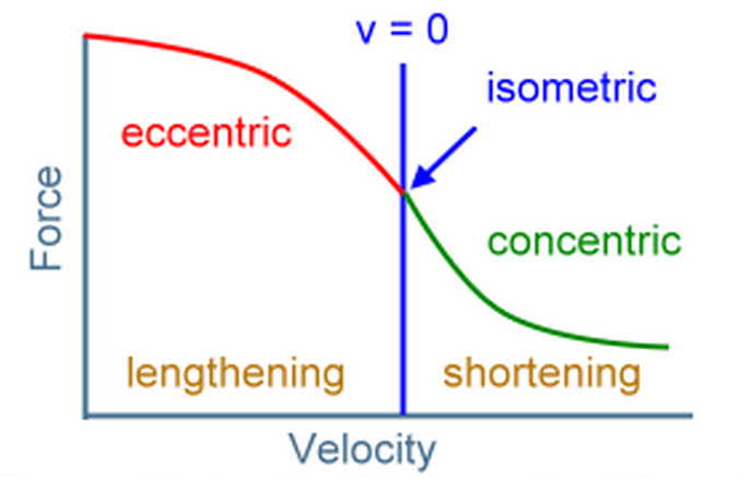 Force-velocity curve of a muscle