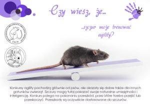 Ciekawostki, hodowla szczurów szczur może trenować agility