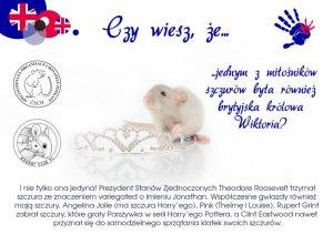 Ciekawostki, hodowla szczurów szczury mają wielu miłośników