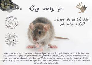 Ciekawostki, hodowla szczurów szczury nie są tak ciche jak ludzie myślą