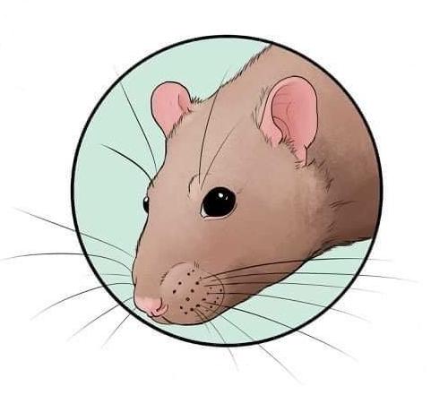 język ciała szczurów rat_body_language jak zrozumieć szczura