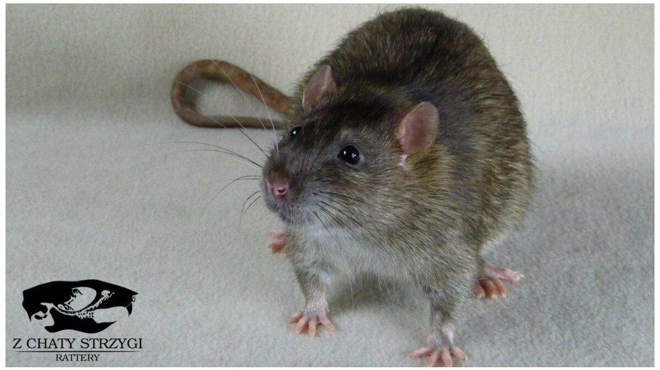 szczur, rat, Z Chaty Strzygi, agouti, brązowy, rodowodowy, rasowy