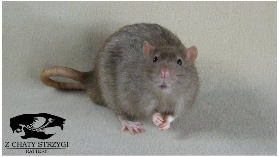 szczur, rat, Z Chaty Strzygi, dark pearl, brązowy, rodowodowy, rasowy