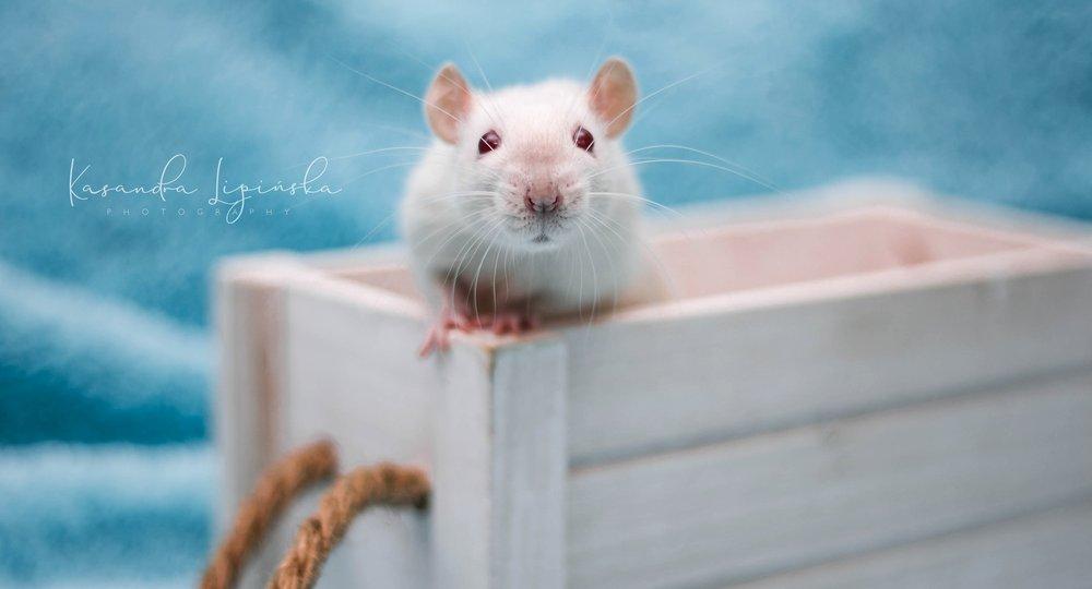 szczur, rat, Z Chaty Strzygi, point, siamese, syjam, rodowodowy, rasowy