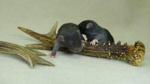 szczury, oseski, młode szczury, miot z hodowli, , black rats, small, baby