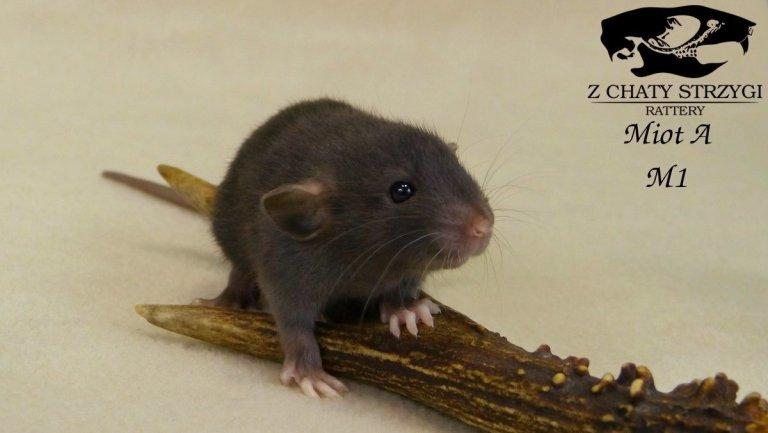 szczur, rat, Z Chaty Strzygi, black, czarny, self, dumbo, rodowodowy, rasowy