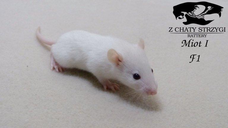 szczur, rat, Z Chaty Strzygi, rodowodowy, beige, rudy