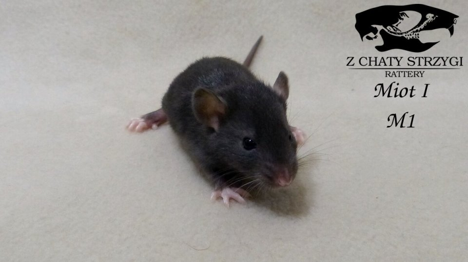 szczur, rat, Z Chaty Strzygi, rodowodowy, rasowy, black czarny