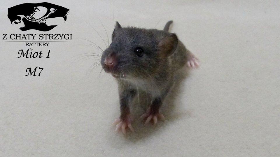 szczur szczury rat hodowla domowa Z Chaty Strzygi rodowodowy rasowy agouti brązowy